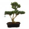 Buxus harlandii - Buis- 55 cm