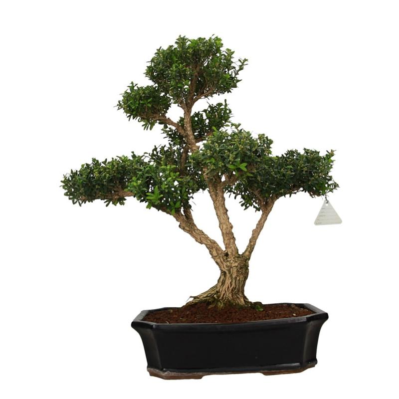 Buxus harlandii - Bosso - 55 cm