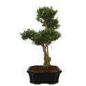 Buxus harlandii - Boxwood - 55 cm