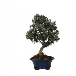 Olea europea - 50 cm