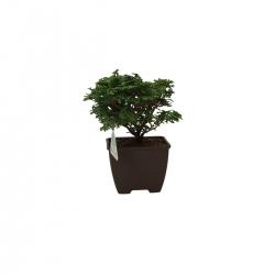 Chamaecyparis obtusa - falso cipresso - 18 cm