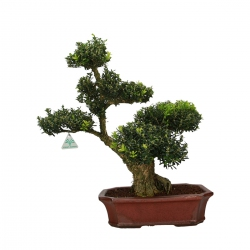 Buxus harlandii - Boxwood - 59 cm