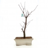 Acer palmatum deshojo - acero - 36 cm