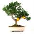 Citrus myrtifolia - 56 cm