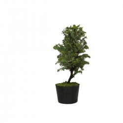 Cryptomeria japonica - 25 cm
