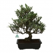 Cleyera japonica - Sakaki - 50 cm