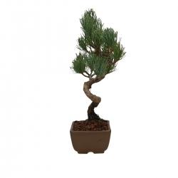 Pinus pentaphylla - Pin à cinq aiguilles - 28 cm