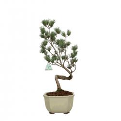 Pinus pentaphylla - Pino - 50 cm