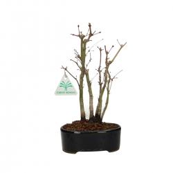Acer palmatum viridis - Érable - 27 cm