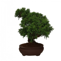 Juniperus chinensis - 40 cm