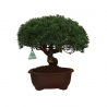 Juniperus chinensis - 31 cm