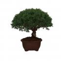 Juniperus chinensis - Ginepro - 31 cm