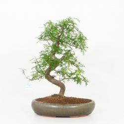 Zanthoxylum - Albero del pepe - 51 cm