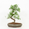 Zanthoxylum - Pepper tree - 51 cm