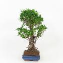 Ficus retusa - 69 cm