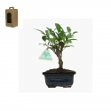 Ficus retusa - 22 cm