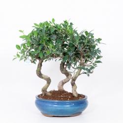 Ficus retusa - 50 cm