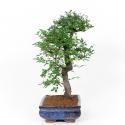 Zelkova nire - Olmo cinese - 61 cm