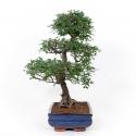 Zelkova nire - Olmo cinese - 66 cm