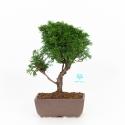 Juniperus chinensis - Ginepro - 29 cm