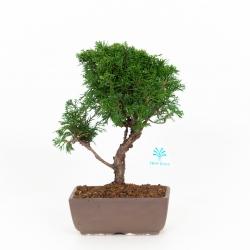 Juniperus chinensis - 29 cm