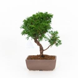 Juniperus chinensis - Juniper - 29 cm