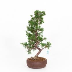 copy of Juniperus chinensis - 48 cm