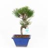 Pinus pentaphylla - Pin - 23 cm