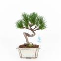 Pinus pentaphylla - Pine - 23 cm
