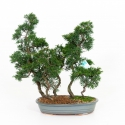 Juniperus chinensis - Juniper - 40 cm