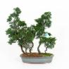 Juniperus chinensis - Genévrier de Chine - 40 cm