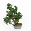 Juniperus chinensis - Ginepro - 40 cm