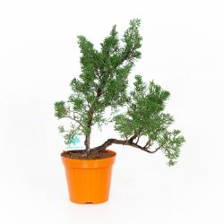 Juniperus chinensis - Genévrier de Chine - 38 cm