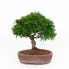 Juniperus chinensis - Juniper - 30 cm