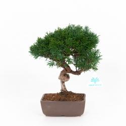 Juniperus chinensis - Ginepro - 27 cm