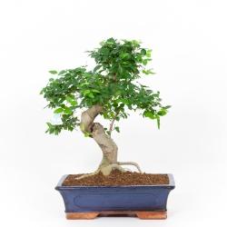 Ligustrum - Ligustro - 42 cm