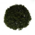 Juniperus chinensis - Ginepro - 30 cm