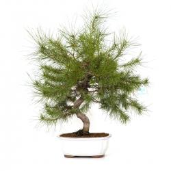 Pinus thunbergii - Pin - 54 cm