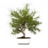 Pinus thunbergii - Pino - 54 cm