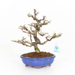 Ligustrum obtusifolium - Troène - 25 cm