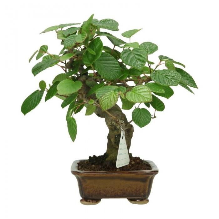 Corylopsis spicata - 24 cm