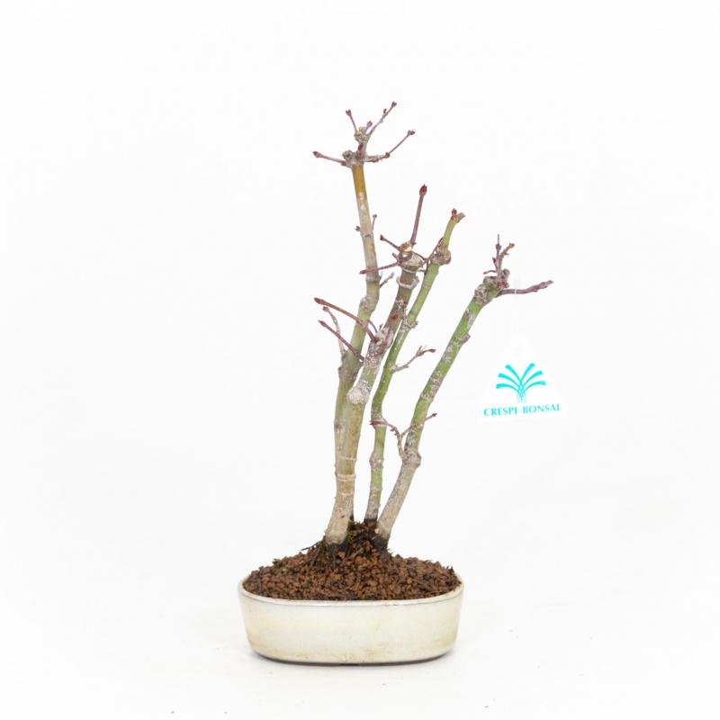 Acer palmatum viridis - Acero - 28 cm