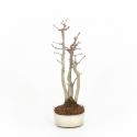 Acer palmatum viridis - Maple - 28 cm