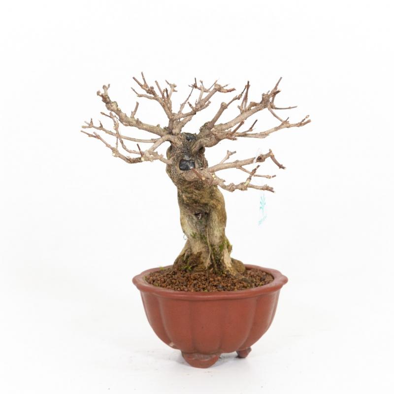 Premna japonica - 31 cm