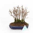 Acer buergerianum - Acero - 19 cm