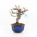Viburnum dilatatum - 22 cm
