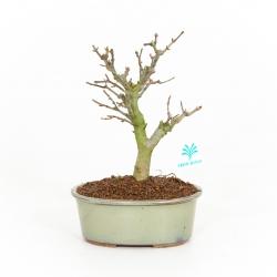 Acer buergerianum - acero - 23 cm