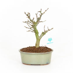 Acer buergerianum - maple - 23 cm
