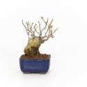 Forsythia suspensa - 17 cm