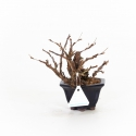 Potentilla fruticosa - 21 cm